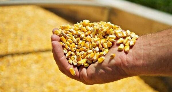 Boi gordo versus milho: pior relação de troca desde maio de 2016
