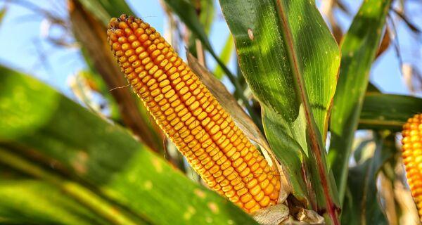 Dólar deve manter milho em alta na próxima safra