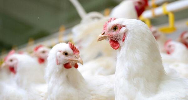 Preço do frango tem alta de 19,4% no atacado em um mês