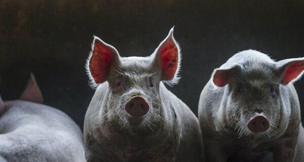 China suspende compra de carne suína de frigorífico de SC por preocupação com Covid-19