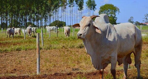 Boi gordo: Com demanda externa pela carne bovina aquecida, arroba mantém viés de alta
