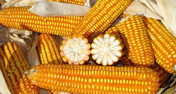Ciclo de diálogos aborda produção de milho orgânico