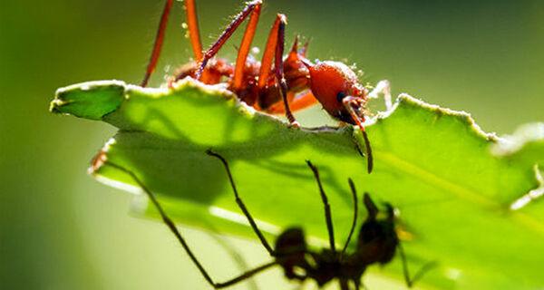 Controle de formigas cortadeiras ganha ferramenta para tomada de decisão