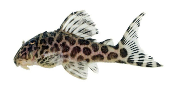 Captura de peixe conhecido como zebra-marrom será proibida para fins ornamentais