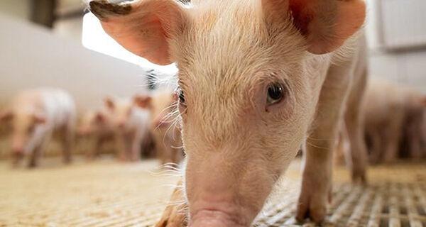 Brasil registra foco de peste suína clássica no Ceará