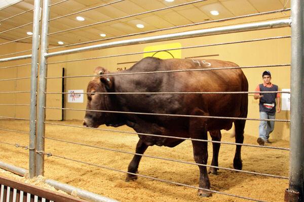 7º Leilão Bonsmara MS comercializa touros PO prontos para a reprodução