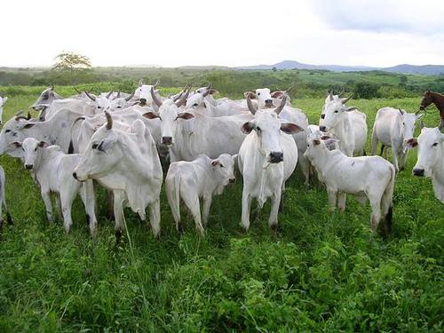 Governo dá incentivo de até 67% para abate de novilho precoce